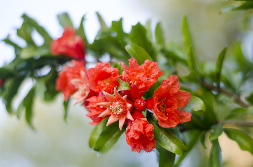 Beauty In Nature Blooming Blooming Flower Close-up Flower Flower Head Flowers Flowers,Plants & Garden Granate Green Color Leaf Nature No People Outdoors Petal Plant Pomegranate Pomegranate Flower Pomegranate Flowers Pomegranate Tree Pomegranateflower Pomegranates  Red Red Color Red Flower EyeEmNewHere