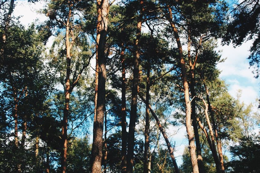 VSCO Tree Forest Nature Low Angle View Growth Day Tree Trunk Outdoors Beauty In Nature No People Tranquility Scenics WoodLand Sky Branch Tranquil Scene Tree Area