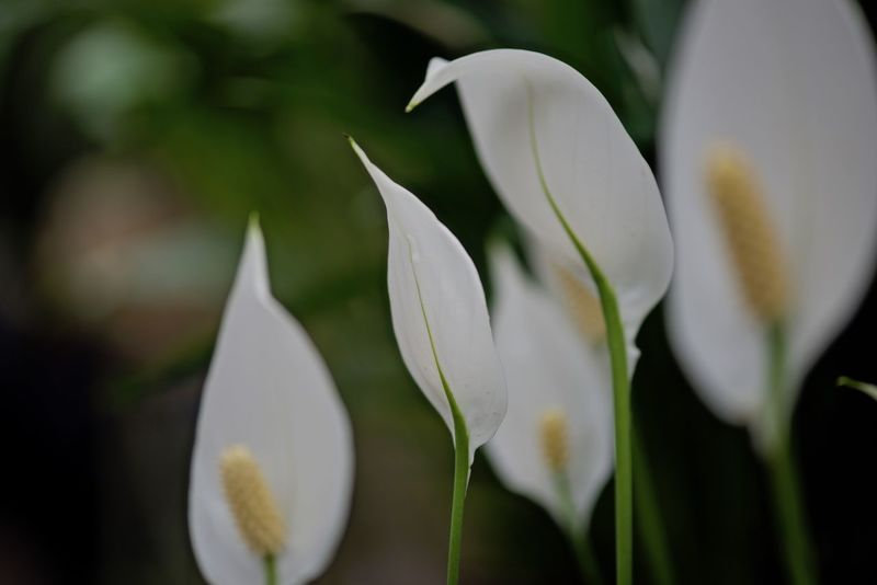 White flowers Beauty In Nature Blooming Close-up Day Flower Flower Head Focus On Foreground Fragility Freshness Growth Lillium Flower Nature No People Outdoors Petal Plant White Color
