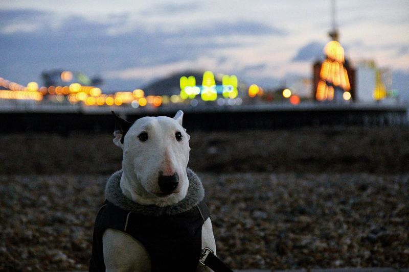 Bullterrier Bullterrier Love Bullterrierphotography Bullterrierlove Bullterrieringles Canonphotography Chillyweather  Brighton Pier Brighton Brighton Uk Brighton, England Brighton Beach Brightonbeach EyeEmNewHere The Week On EyeEm