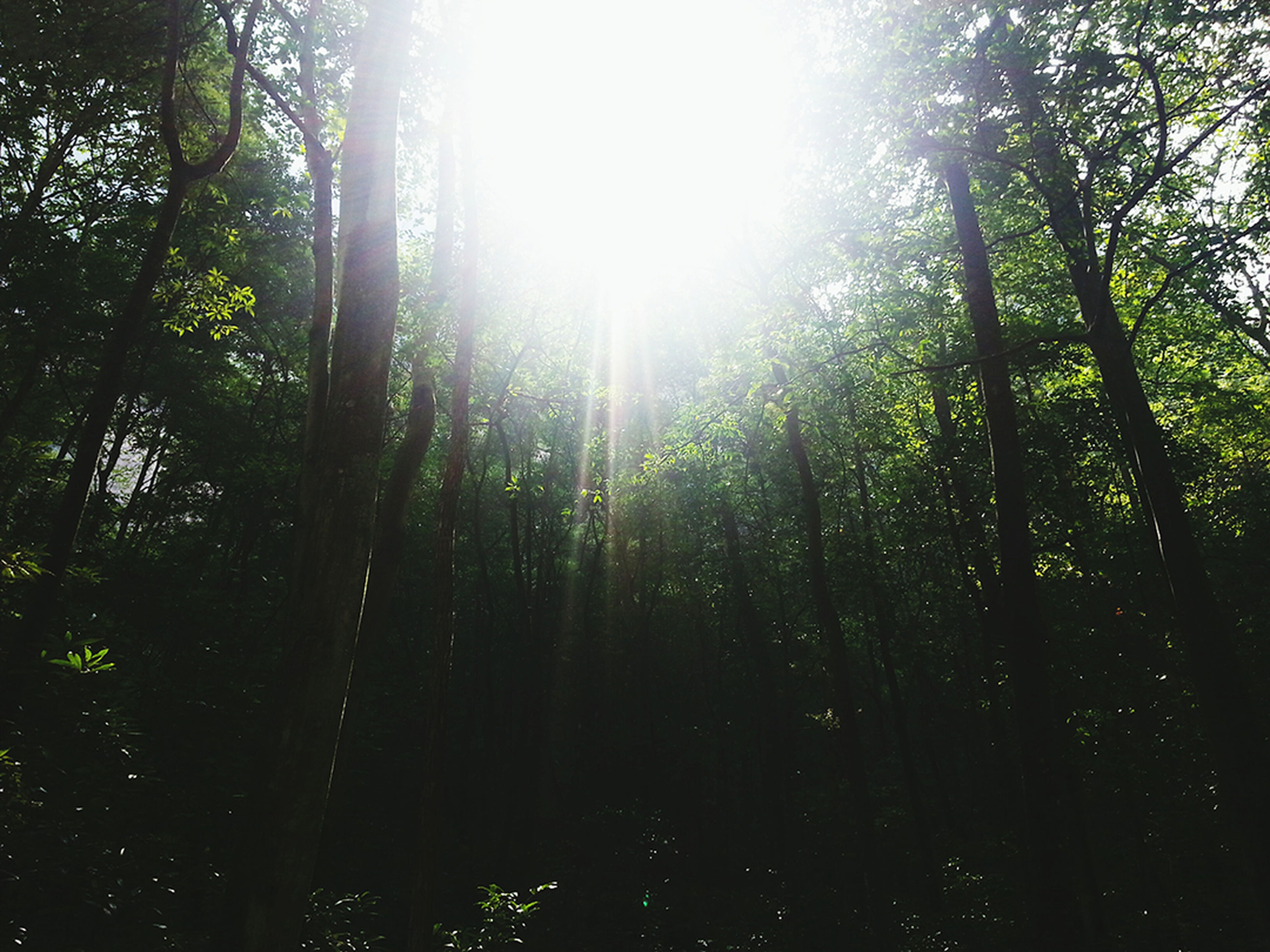 forest, low angle view, tranquility, growth, tree, nature, sun, scenics, tranquil scene, green, tree trunk, beauty in nature, woodland, green color, lush foliage, sunbeam, plant, non-urban scene, back lit, outdoors, day, lens flare, branch, solitude, woods, sky, wilderness, solar flare, majestic, rainforest, greenery, full frame