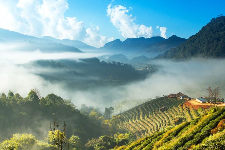 Landscape of Tea Field with fog in morning at Chiangmai Thailand. Agriculture Beauty In Nature Day Field Fog Green Color Growth Landscape Mountain Mountain Range Nature No People Outdoors Plant Rural Scene Scenics Sky Tea Crop Tranquil Scene Tranquility Tree