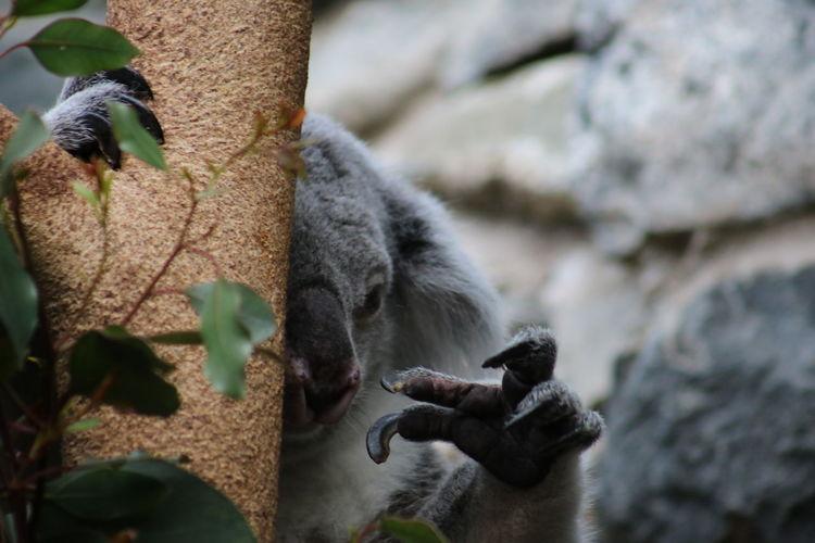 Tired koala in a tree