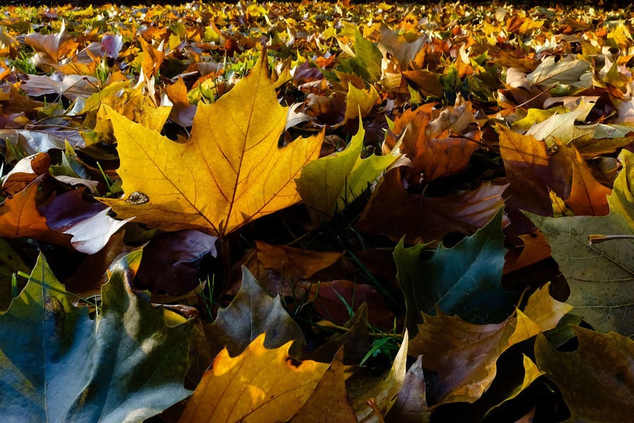 Autumn-series... Autumn Collection Autumn Colors Autumn Leaves Autumn Beauty In Nature Change Close Up Close-up Day Dry Fragility Leaf Leaves Maple Maple Leaf Nature No People Outdoors Yellow