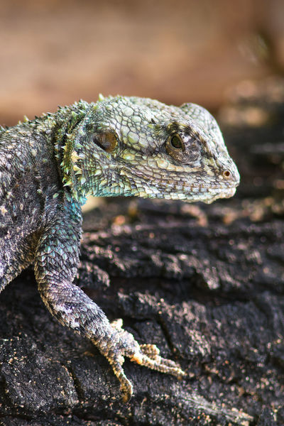 Blue headed agama portrait Animal Themes Animal Wildlife Animals In The Wild Blue Headed Lizard Close-up Day Focus On Foreground Lizard Nature No People One Animal Outdoors Reptile Spiked
