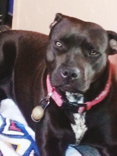 Pitbull Love Pit Bull Funny Face Black Dog Pets Portrait Dog Looking At Camera Panting Pet Collar Pit Bull Terrier Pet Clothing Close-up