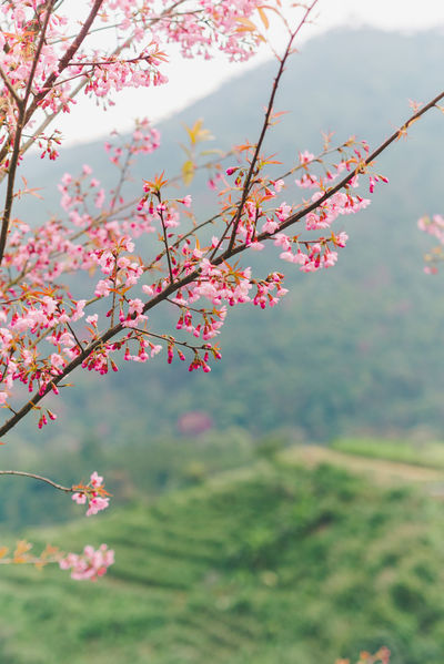 Beauty In Nature Branch Close-up Day Flower Flower Head Focus On Foreground Fragility Freshness Growth Low Angle View Nature No People Outdoors Pink Color Plum Blossom Sky Springtime Tree