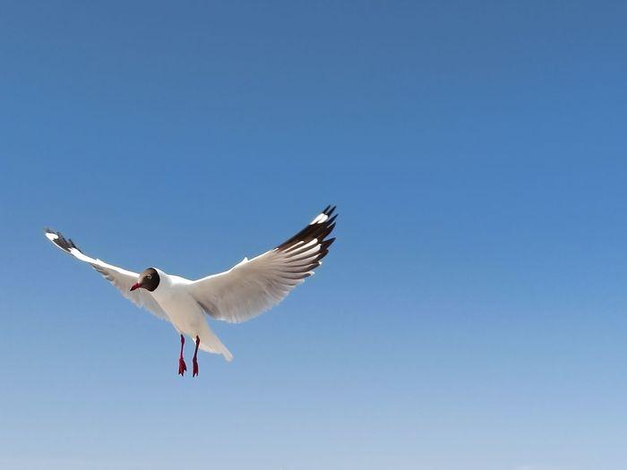 fly Bird Spread