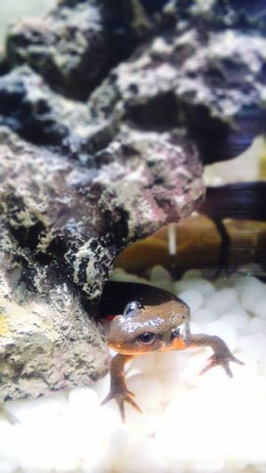Newt アカハライモリ Japanese Fire Belly Newt 両生類 Amphibians