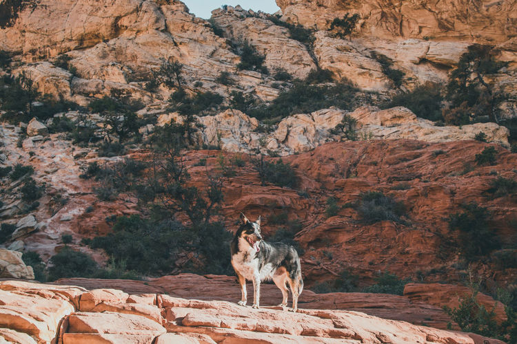 Dog On Rocky Mountain