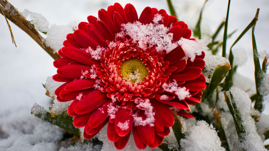 Close-up of red flowering plant during winter