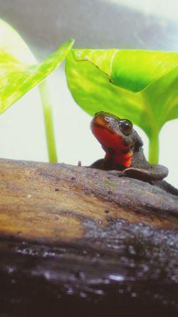 Terrarium Newt アカハライモリ Japanese Fire Belly Newt 両生類 Close-up Amphibian