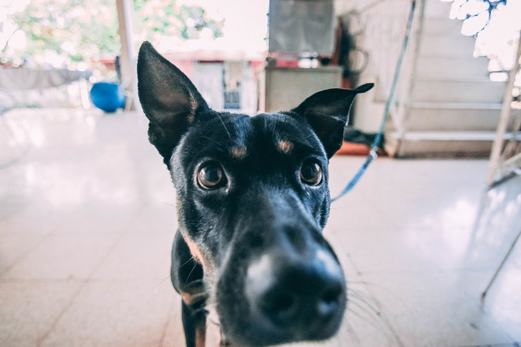 Portrait of black dog on floor at home