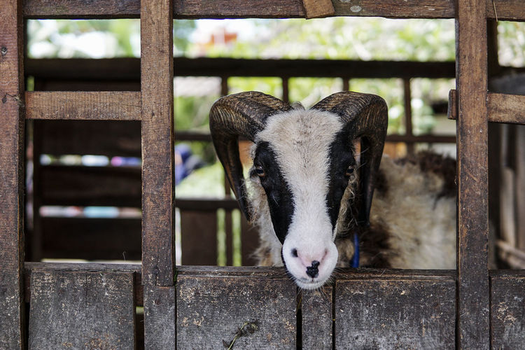 Goat Farm Goat Animal Themes Day Domestic Animals Focus On Foreground Indoors  Livestock Looking At Camera Mammal Nature No People One Animal Portrait Wood - Material Young Animal