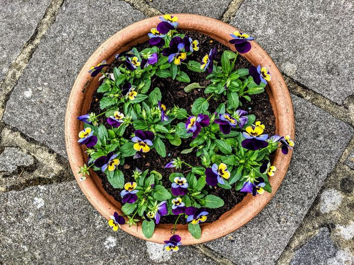 High angle view of potted pansies