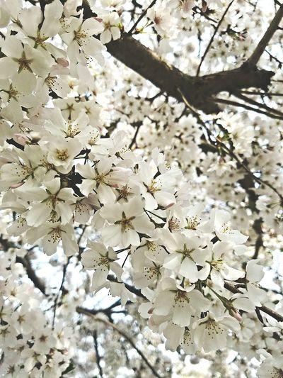 Cherry Blossoms Spring Taking Photos Tree White Flower White Flower Nick