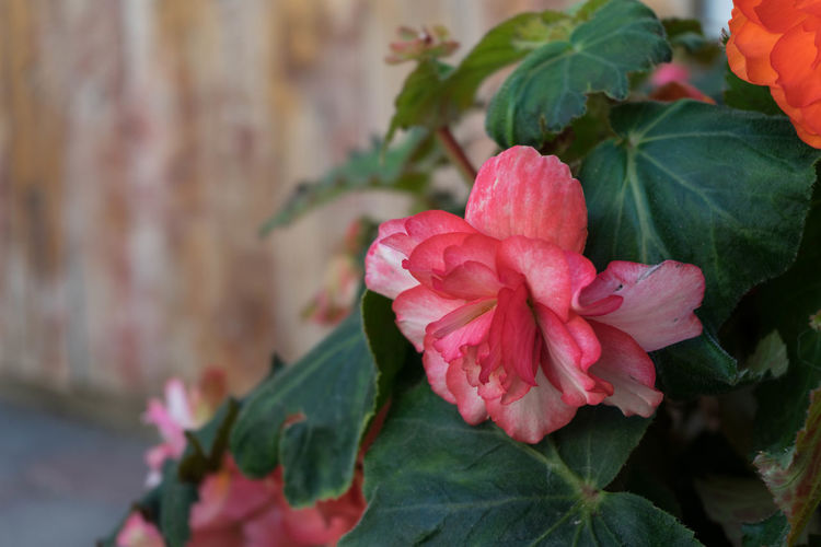 begonias Begonien Begonienblüten Beauty In Nature Begonias Close-up Day Flower Flower Head Flowering Plant Focus On Foreground Fragility Freshness Growth Inflorescence Leaf Nature No People Outdoors Petal Pink Color Plant Plant Part Vulnerability