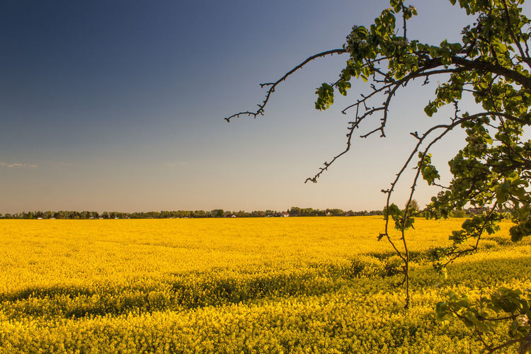 Sunny Agriculture Beauty In Nature Crop  Day Field Growth Landscape Nature No People Oilseed Rape Outdoors Rural Scene Scenics Sky Summer Tree Yellow