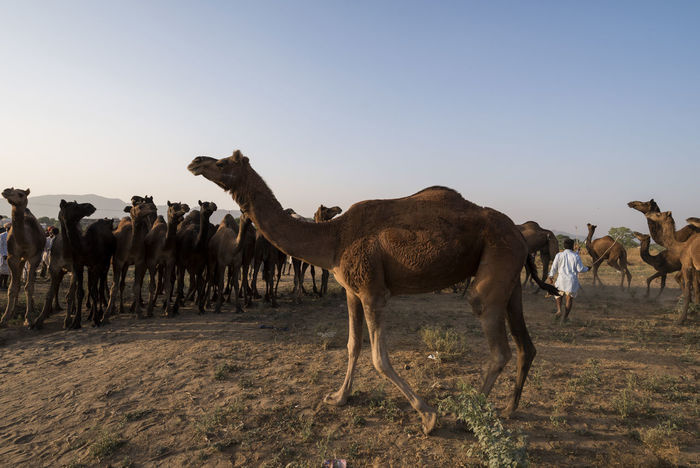 Pushkar Fair, Oct 2017 | Rajasthan | India India Livestock Pushkar Travel Animal Themes Annual Event Camels Cattle Fair Desert Domestic Animals Fair Herder Large Group Of Animals No People Outdoor People Pushkarcamelfair Pushkarfair Pushkarmela Rajasthan Trade