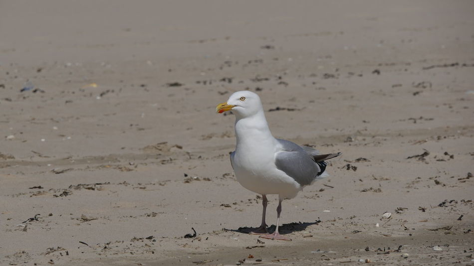 Beak Feathers Looking At Camera Seagull Serenity Animal Themes Animal Wildlife Animals In The Wild Beach Beauty In Nature Bird Close-up Nature No People One Animal Outdoors Sand Sea Seagull Seagull In Focus Seagull Looking At Me Seagull Standing White Bird