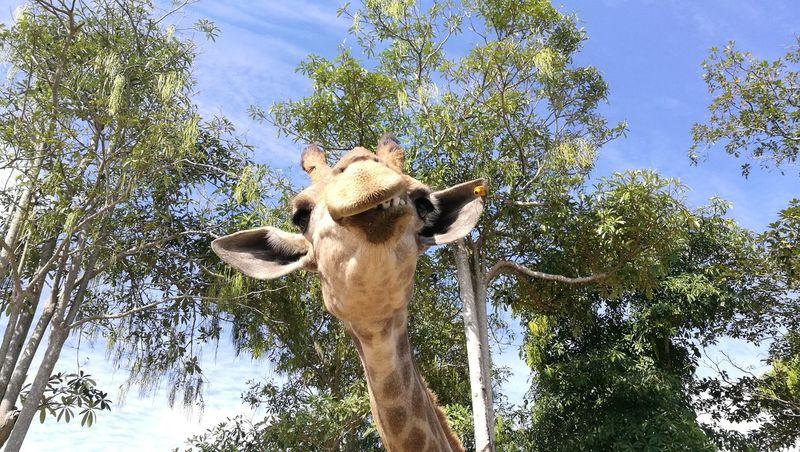 Giraffe Safari Safari Animals Safaripark Giraffe♥