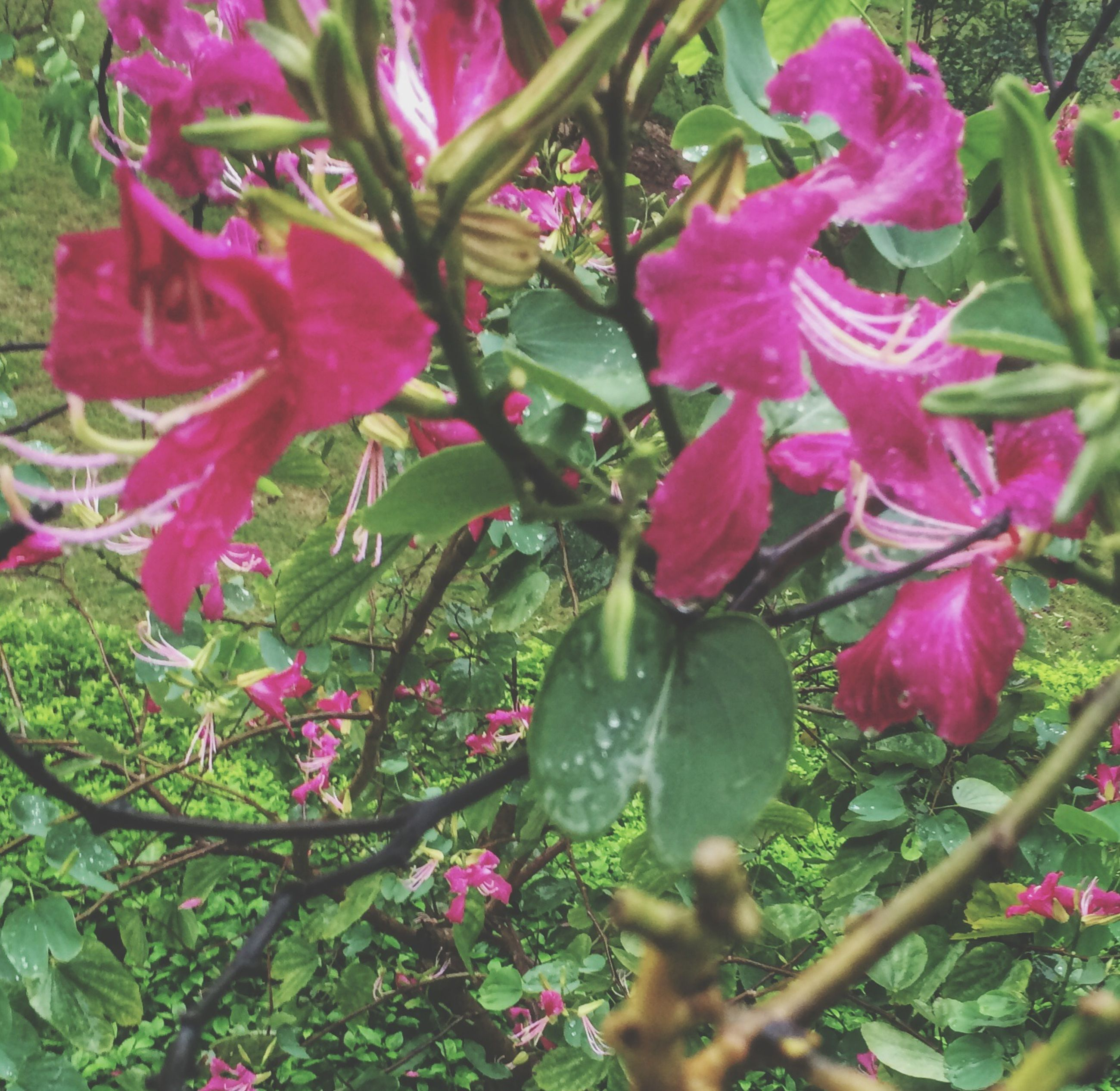 flower, freshness, growth, pink color, fragility, beauty in nature, petal, nature, leaf, plant, blooming, close-up, focus on foreground, flower head, in bloom, branch, day, park - man made space, outdoors, pink