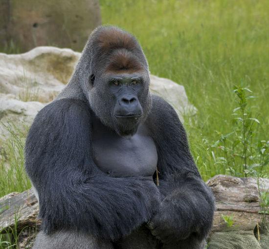 Gorilla Mammal