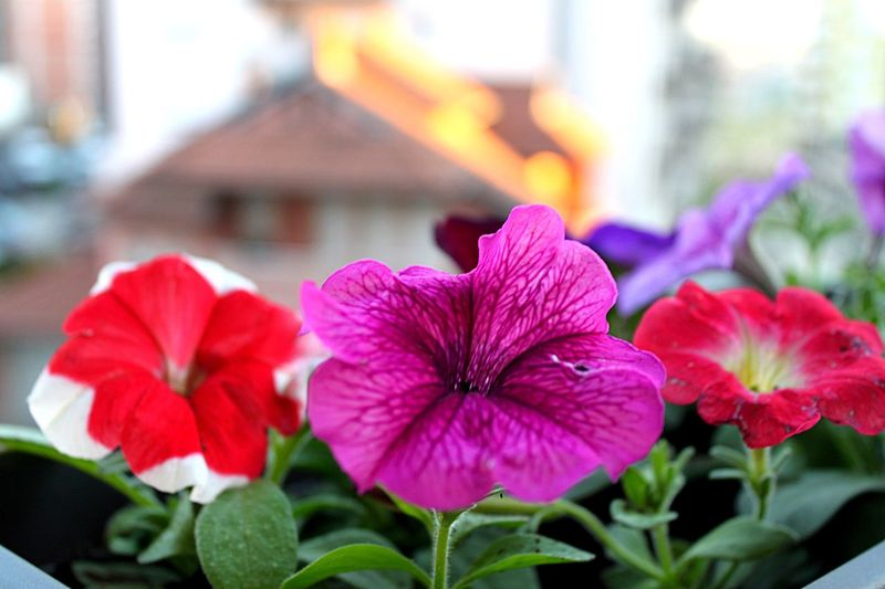 The Great Outdoors - 2017 EyeEm Awards Flower Petal Flower Head Focus On Foreground Fragility Growth Freshness Beauty In Nature Plant Day Close-up Outdoors Blooming Nature No People Leaf Architecture Building Exterior Petunia Periwinkle (null)EyeEmNewHere Live For The Story Place Of Heart