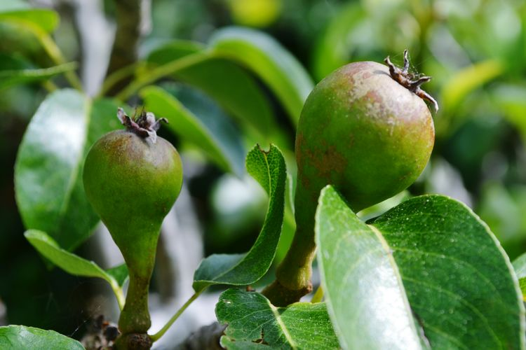 Pear Fruit Helthyfood Tree Fruit Leaf Agriculture Social Issues Unripe Close-up Plant Green Color Food And Drink