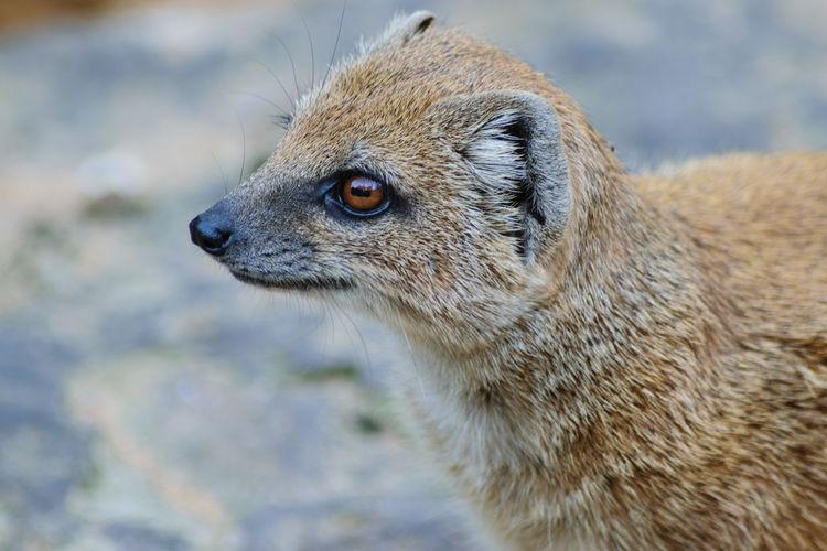 Close-Up Of Mongoose Looking Away