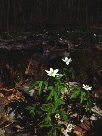 Wood Anemones Flower Collection Flowers Inspiration EyeEm Nature Lover In The Forest