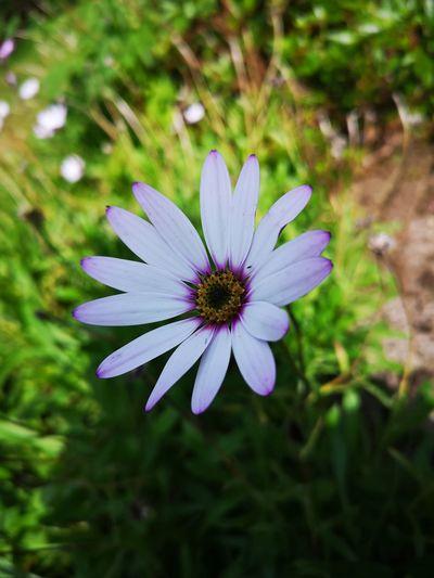 English garden flower Flower Head Flower Osteospermum Petal Insect Purple Close-up Animal Themes Plant