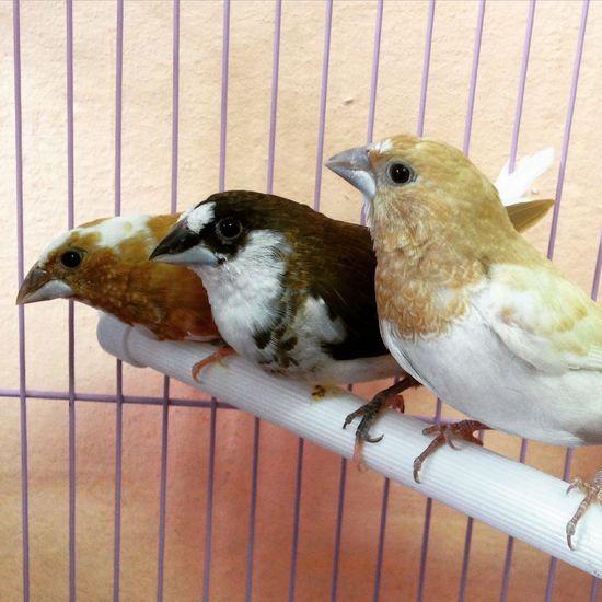 Амадины птички Birds Animals