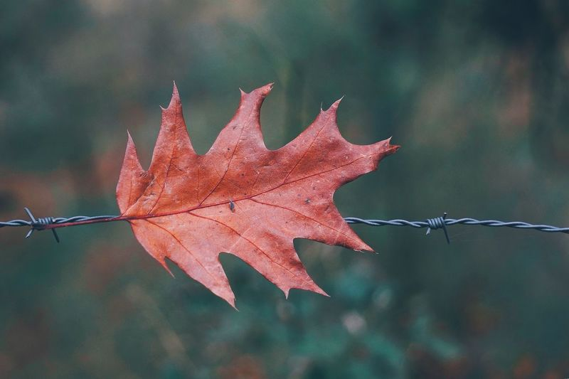 Close-up of maple leaf on barbed wire