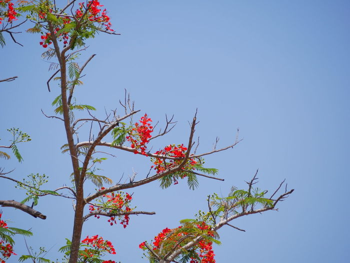 Flame tree Plant Sky Low Angle View Clear Sky Growth Beauty In Nature Tree Nature Day Flower No People Flowering Plant Freshness Branch Copy Space Blue Outdoors Red Tranquility Fragility Rowanberry