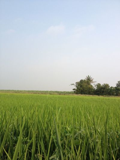 Agriculture Beauty In Nature Cereal Plant Crop  Cultivated Land Day Farm Field Green Green Color Growth Horizon Over Land Landscape Majestic Nature No People Non-urban Scene Outdoors Plantation Rural Scene Scenics Sky Tranquil Scene Tranquility Vibrant Color
