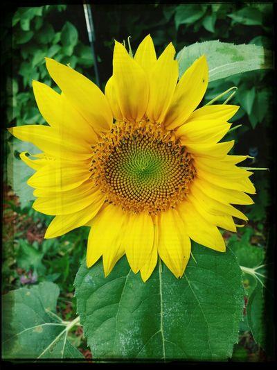 Favorite Flower Sunflowers🌻