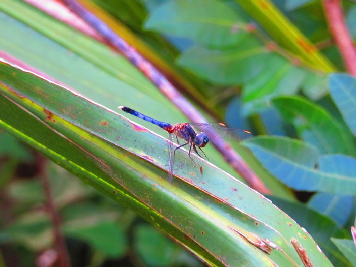 Small dragonfly Small Dragonfly Leaf Insect Full Length Close-up Animal Themes Plant Dragonfly