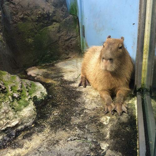 鳥羽水族館に行ってきた。水族館にカピバラが居るんだね ( ´ ▽ ` ) Tobaaquarium 鳥羽水族館 Aquarium 水族館 Capybara カピバラ Animals 動物