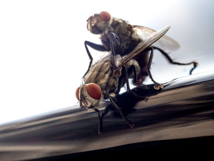 Flies mating This close-up shot glass Mating Fly Nature Flies Macro Background Closeup Animal Small Natural Leaf Close-up Bug Side View Copy Copyspace Mirror Reflection Delicate Biology Nobody Red Extreme Close-up Up Grey