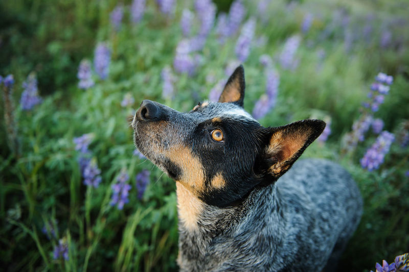 Australian Cattle Dog portrait in purple flowers One Animal Mammal Animal Themes Animal Pets Domestic Animals Domestic Dog Canine No People Day Nature Close-up Looking Animal Head  Flowering Plant Spring Australian Cattle Dog Cattle Dog Blue Heeler Lupines