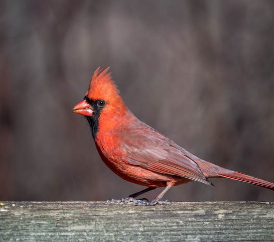 Animal Animal Themes Animal Wildlife Animals In The Wild Bird Cardinal - Bird Close-up Day Focus On Foreground Looking Nature No People One Animal Outdoors Perching Red Sunlight Vertebrate Wood - Material Zoology
