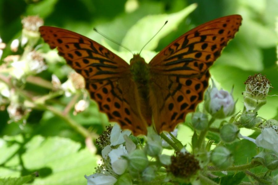 Silver-washed Fritillary (Argynnis paphia) Argynnis Paphia Silver Washed Fritillary Fritillary Butterfly Insect Animal Wing Invertebrate Butterfly - Insect One Animal Animals In The Wild Animal Themes Animal Animal Wildlife Plant Beauty In Nature Close-up Flower Nature No People Flowering Plant Day Natural Pattern Butterfly Growth
