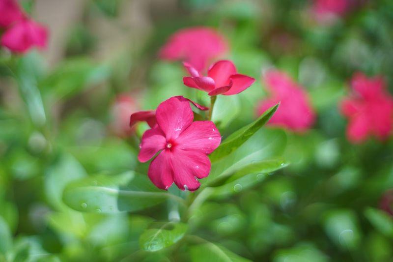 Pangpuay Beauty