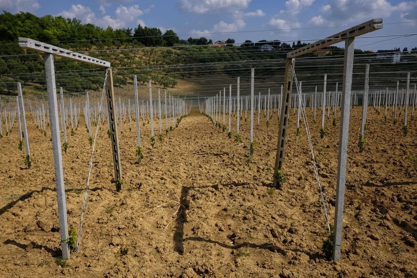 vineyard just planted in Abruzzo Farm Young Agriculture Day Farm Joists Land Minimal Nature Perpective Plant Planted Rural Scene Vineyard
