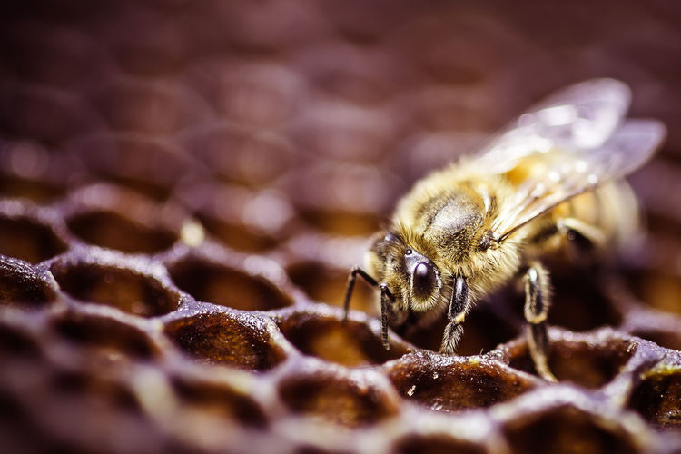 Honey bee in Hive. Animals In The Wild Beauty In Nature Close-up Honey Bee Insect Nature No People One Animal Selective Focus Wildlife