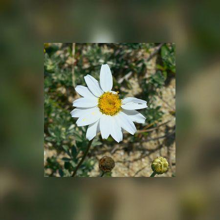 Margherita sunshine Flowers Sea Posada First Eyeem Photo