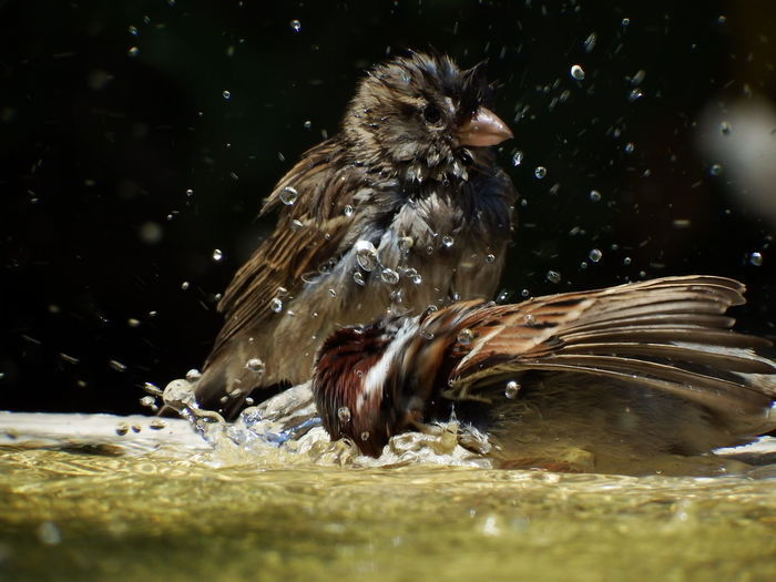 Hot day, cold water at the fountain in a park Fountain Animal Themes Bird Day No People Outdoors Sparrow Water