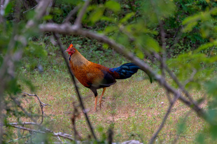 Rooster on field seen through branch