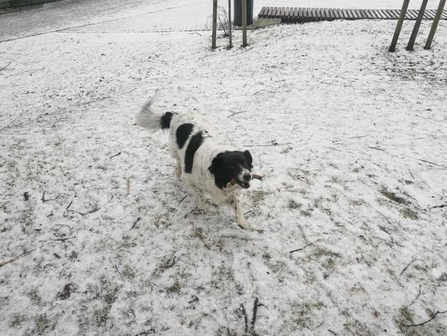 Playful dog Playful Dog Playful Stick Bordercollie  Snow Dog Mammal Day Outdoors Paw Print No People Nature High Angle View Shades Of Winter